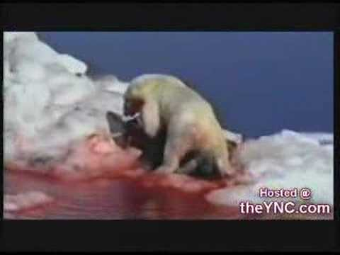 polar bear vs walrus Video