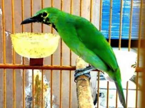 Kicau Burung Cucak Ijo Atau Murai Daun video