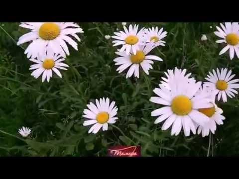 Илья яббаров ромашковое поле скачать песню