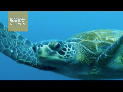 Yongle Island workers protect green turtles