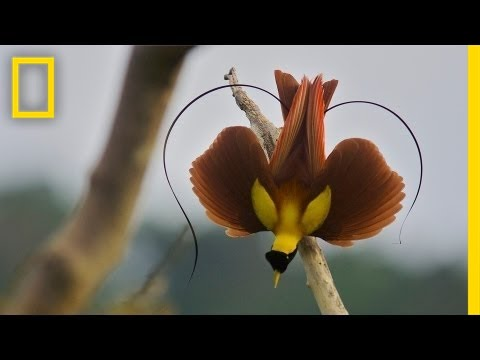 National Geographic Live! - Tim Laman & Ed Scholes: Birds of Paradise