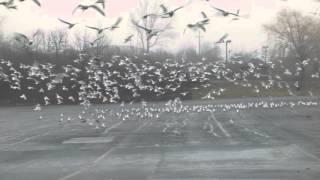 Rosemarie chasing pigeons