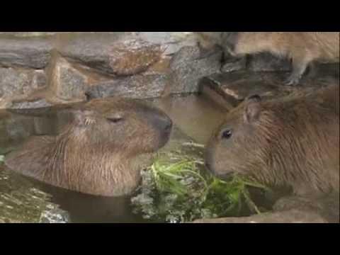 温泉で葉っぱを食べるカピバラさん [Capybara]