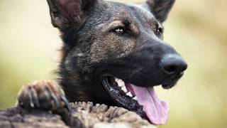 German shepherd Bjarki- Obedience, tricks and more