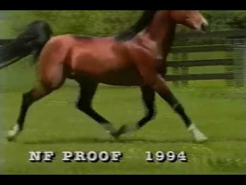 NF PROOF Arabian Stallion.  Media.wmv
