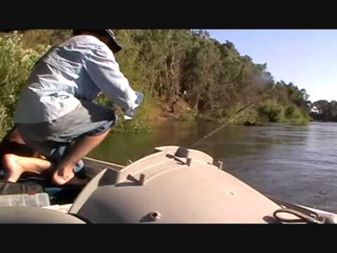 MURRAY COD .wagga..lure fishing. HALCO