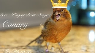 Canary singing champion HD