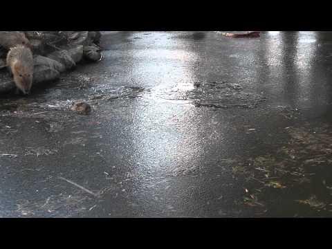 氷の池で泳ぐカピバラ(長崎バイオパーク)