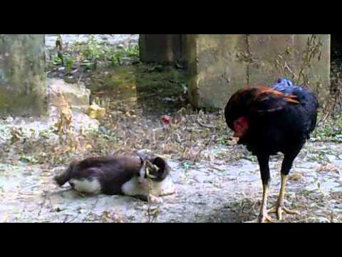 ayam rogol kucing