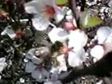 Вишня цветёт...Пчёлы...