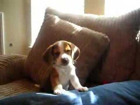 beagle puppy howl