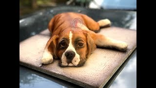 Kricky Cakes Decoration: Realistic Boxer puppy cake tutorial with glass isomalt eyes