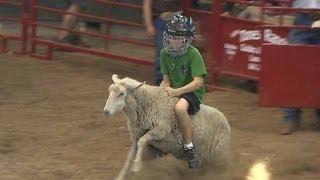Mutton Busting   Iowa State Fair 2012