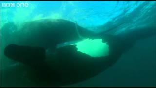 Extraordinary Courtship - Ocean Giants - BBC One