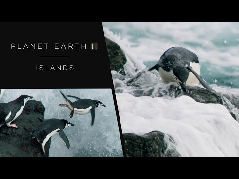 Penguins jumping of cliffs - Planet Earth II: Islands Preview - BBC One