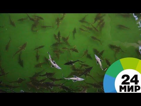Массовый мор рыбы в Казахстане: погибли 36 тысяч осетров - МИР 24