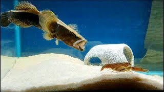 FEEDING my ALIEN fish LIVE CAUGHT CRAWFISH!