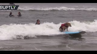 Who said dogs can't ride the waves too? World's first International Dog Surfing Championship