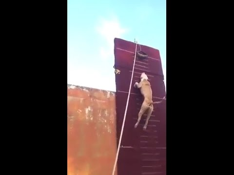 INCREDIBLE pitbull climbs 30 foot wall