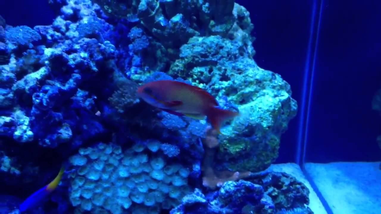 Saltwater Aquarium Reef Safe Fish Youtube