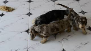 "Wire standard dachshund puppies of kennel ""Iz Novo-Peredelkino"" II"