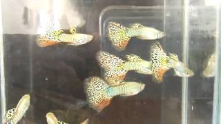 Big blue guppy farm clip.9 Galaxy clip by Micky Red Tail