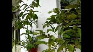 Psidium Guajava (guayabas) y pitanga (eugenia uniflora, variedad de frutos sin costillas)