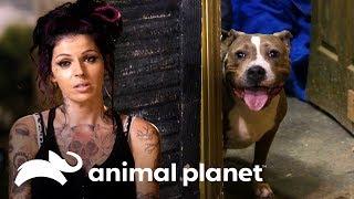 ¿Podrán encontrar a la familia de esta perrita? | Pit bulls y convictos | Animal Planet