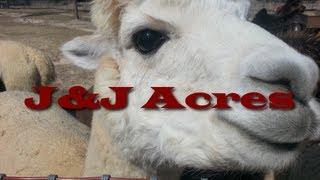 Farming Alpaca for fiber