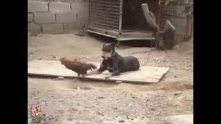 Regardez !!! Ça c'est un coq guerrier ... ou suicidaire