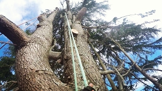 Big Old Growth Himalayan Cedar Tree Dismantle - Piece by piece they drop - Two day climb