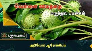 வாதத்தினால் வரும் மூட்டுவலியைப் போக்கும் வெள்ளை ஊமத்தை..  | அறிவோம் ஆரோக்கியம் | Puthuyugam TV