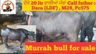 Extraordinary animals in a village of punjab, ਦੇਖੋ ਬਹੁਤ ਵਧੀਆ ਰਿਕਾਰਡ ਵਾਲੇ ਪਸ਼ੂ 11-08-2019
