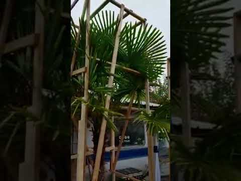 Exotische garten Palmen, Olivenbaum  2.11.2018