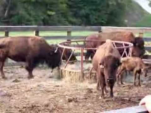 JD CARTY'S DANCES WITH WOLVES BUFFALO FARM