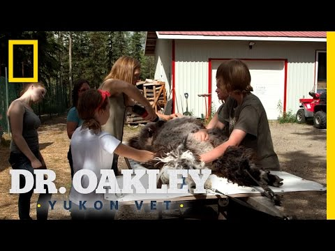 Shear Me Timbers   Dr. Oakley, Yukon Vet