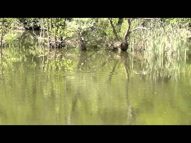 Mrijest šarana na jezeru Starača u Ilijašu - 1. dio