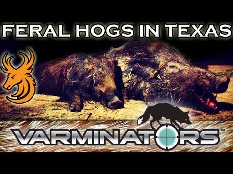 Hunting Feral Hogs in Texas
