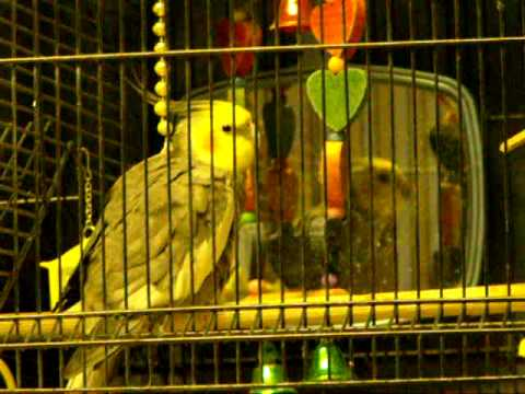 Cockatiel Sounds 12