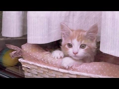 里親 猫ちゃんプリン 美猫に成長!