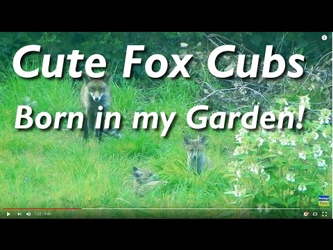 springwatch 2013 Fox Cubs Born in my Garden