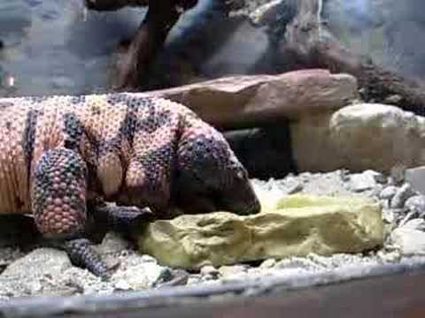 Gila Monster Eats An Egg video