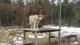 Wolfdogs at Howling Woods farm catching treats