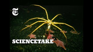 How Sea Spiders Breathe Without Lungs or Gills | ScienceTake