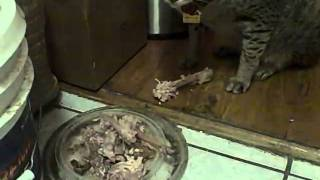 f2 savannah  crunches chicken bones.AVI