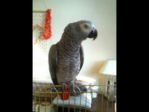 Видео как разговаривает попугай