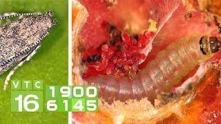 Dồn lực chuẩn bị ứng phó với sâu đục lá cà chua Nam Mỹ | VTC16