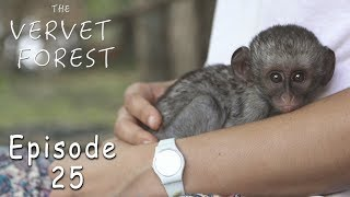 Scared Baby Orphan Vervet Meets Monkey Mom - Ep. 25