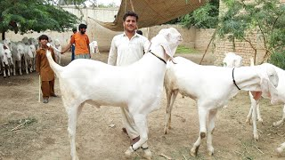 naya channel animal Janwar goat farm new channel
