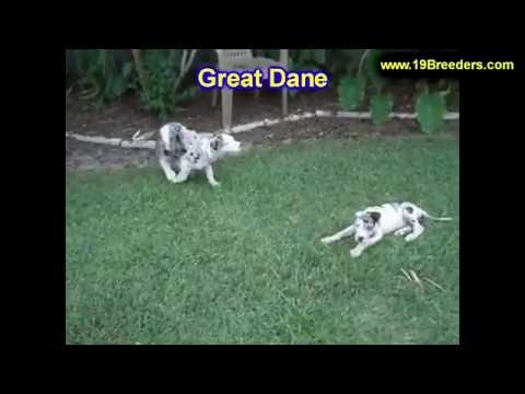 Great Dane, Puppies, For, Sale, In, Badger, County, Alaska, Ak, Kink ...
